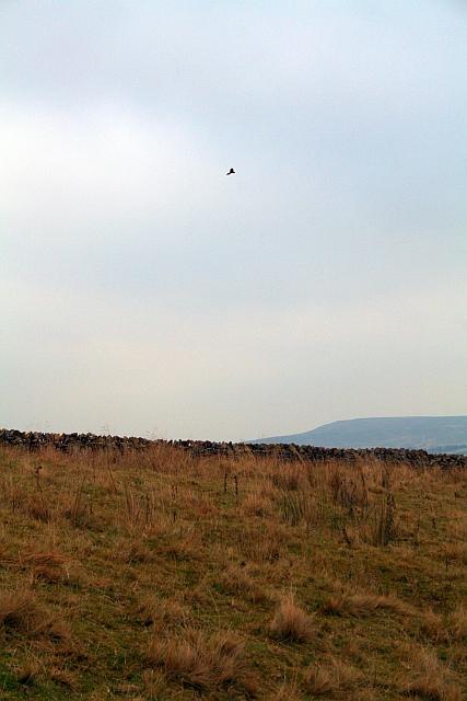 Kestrel Above Carlton Moor