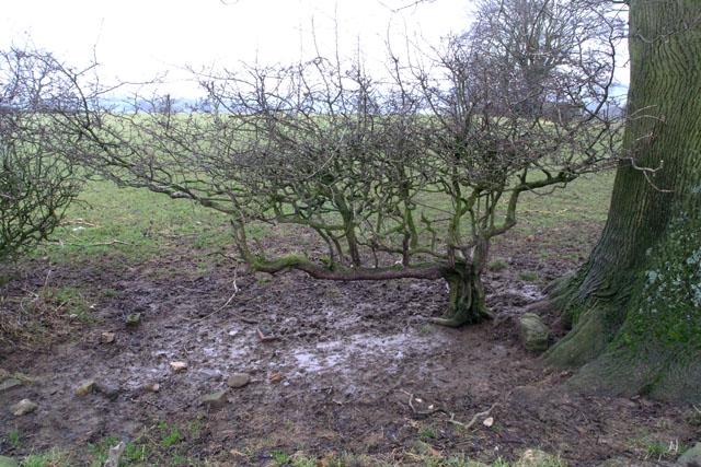 Hedged Hawthorn