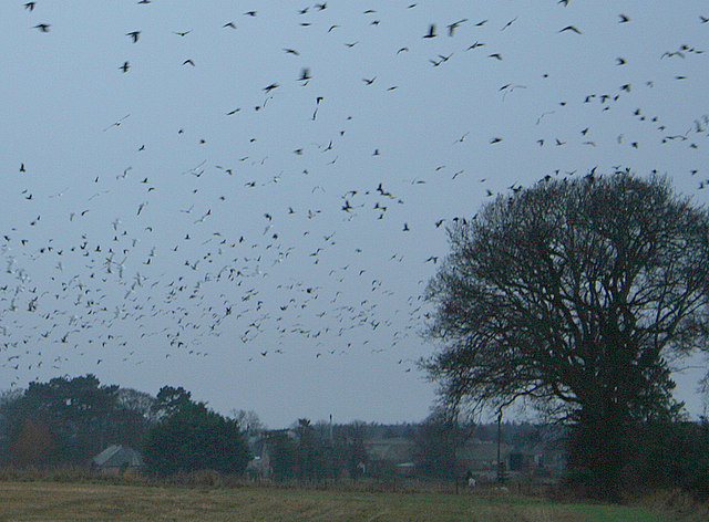 A confusion of rooks and gulls by the B9101