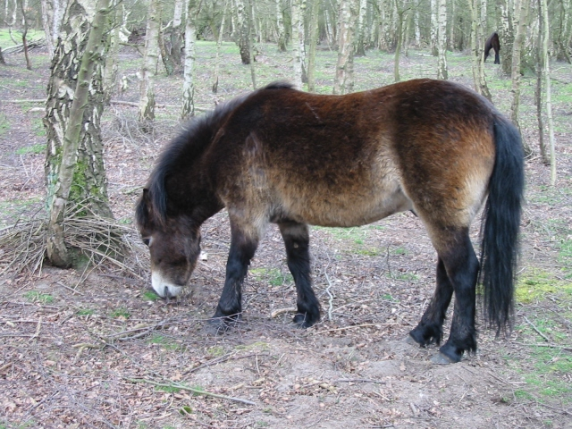 Exmoor ponies at Skipwith Common