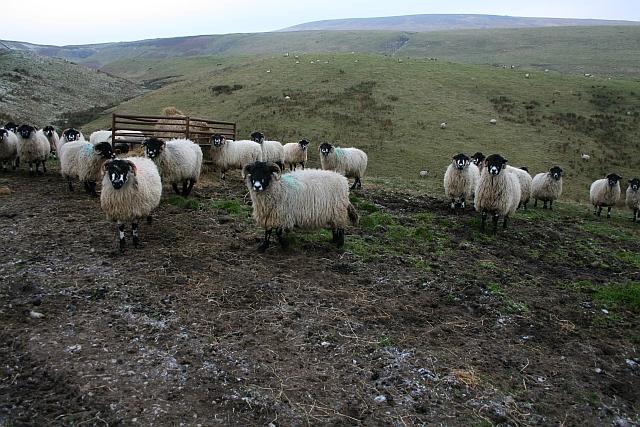 Sheep above Stotgap Gill