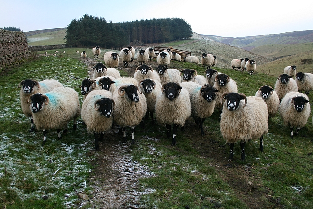 Sheep above Stotgap Gill (2)