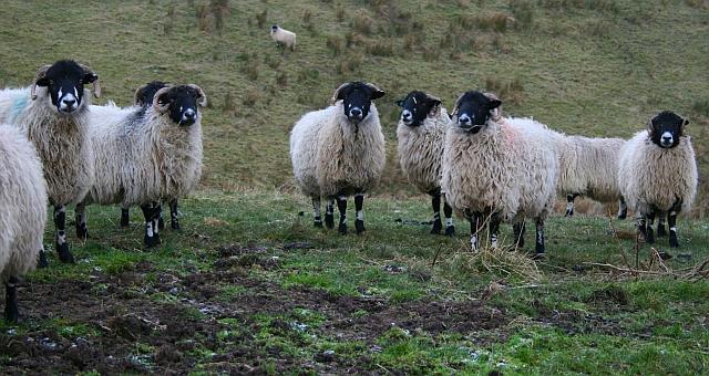 Sheep above Stotgap Gill (3)
