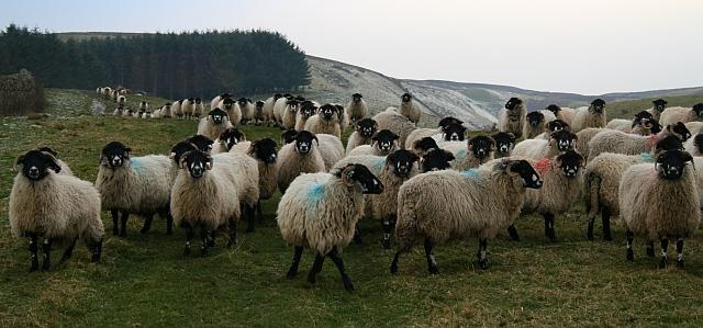 Sheep above Stotgap Gill (4)
