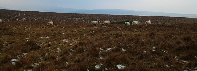 Sheep on Harland Hill