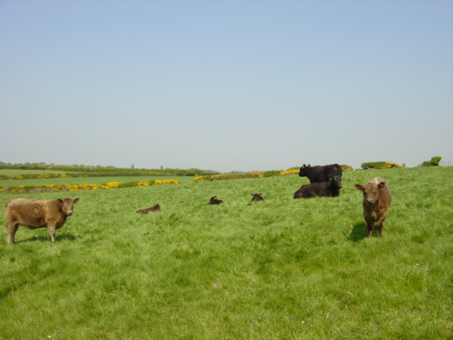 Cows and Calves in field near Oldfield Farm