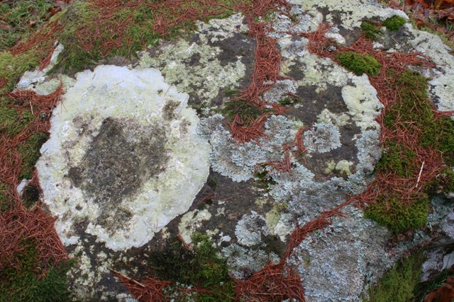 Rock, Lichen and Larch Needles