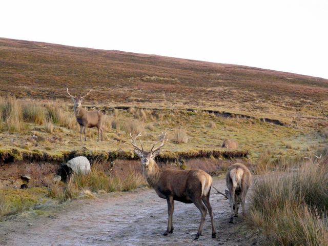 Red deer by the road, Cnoc Bad a' Ghille Duibh