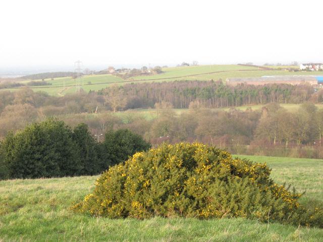 Lone gorse bush