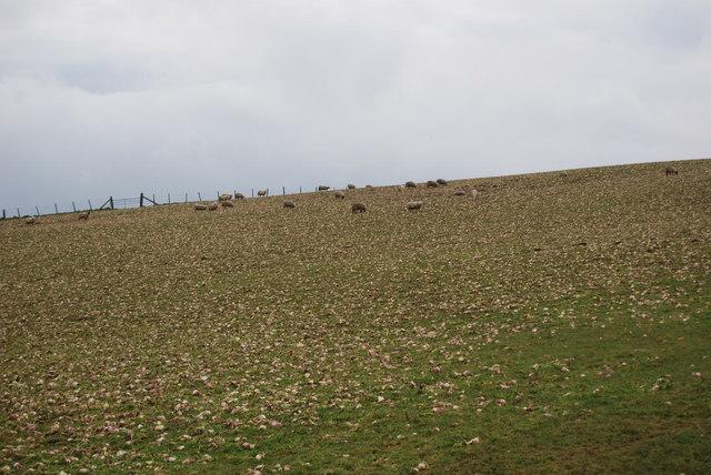 Ewes feeding on turnips