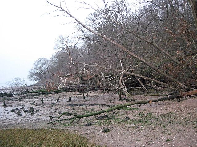 More fallen shoreline trees