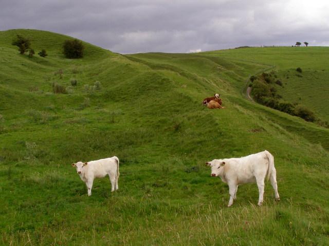 Cattle on Hambledon Hill