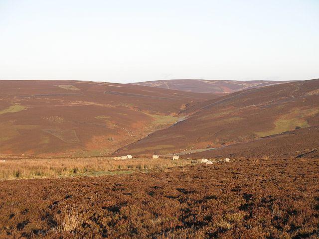 Sheep on Newlands Hill
