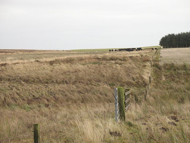 Cattle, Lees Hill
