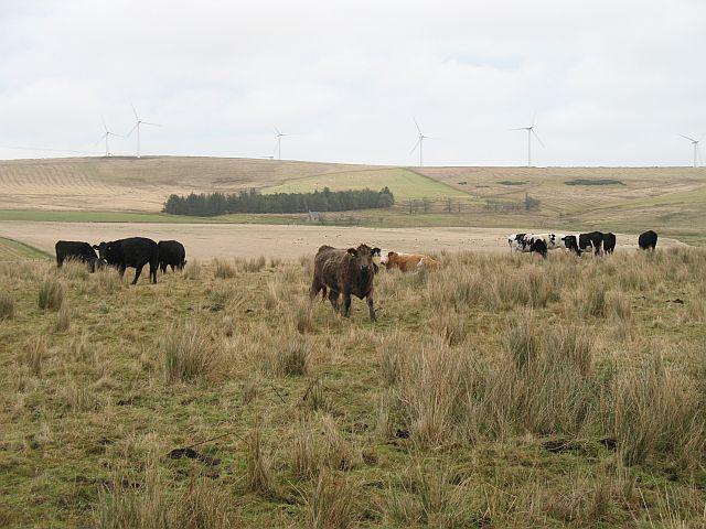 Cattle, Stobswood