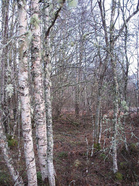 Woodland, Bhlàraidh