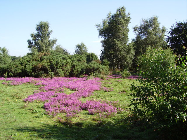 Heather on Yateley Common