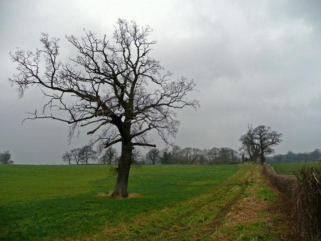 Oak in a field