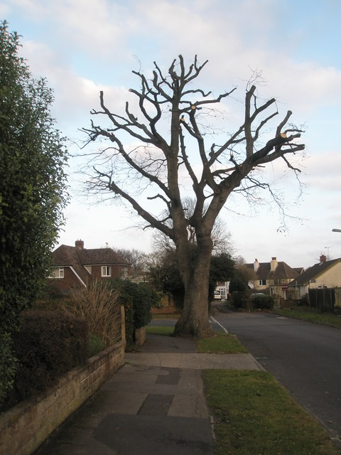Severely pruned tree in Bellevue Lane