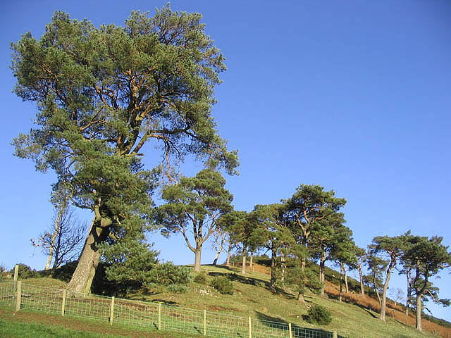 Scots pine trees at Skelfhill