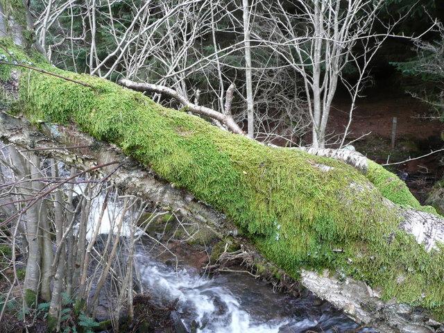 Moss on a birch branch