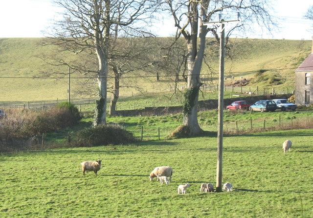 December lambs at Pant Glas Farm