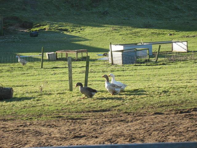 Geese at Pant Glas Farm