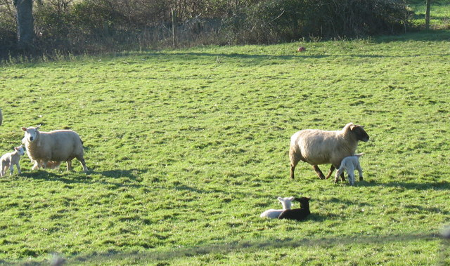 Ewes and lambs at Pant Glas Farm, Rhyd-y-clafdy
