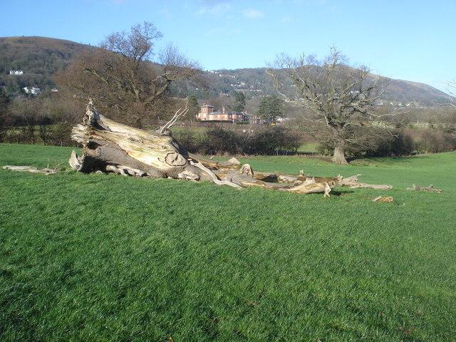 Dead tree at Brickbarns Farm