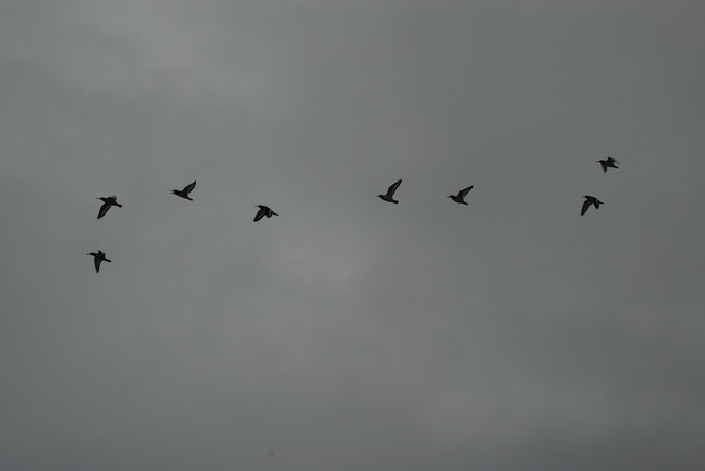 Piod y Môr - Oystercatchers