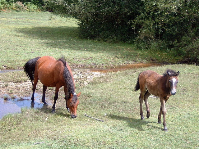 New Forest Ponies by Crockford Bridge