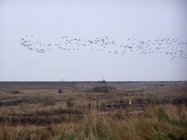 Brent Geese over Reculver oyster farm