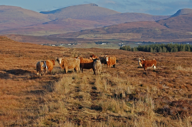 Cattle on the track by Loch Niarsco
