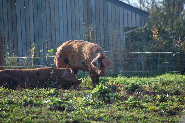 Pigs at Occombe Farm