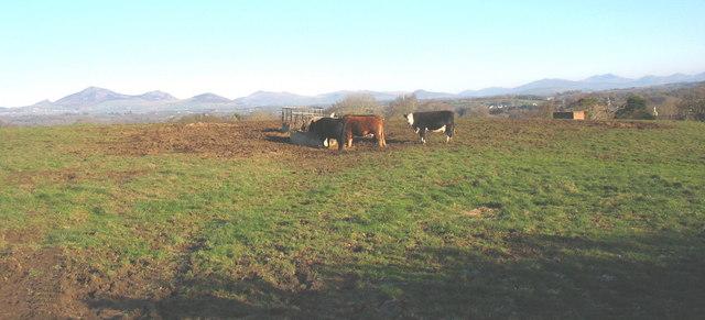 Cattle feeding on Gellidara Farm