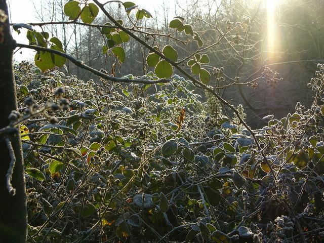 Frosty Brambles near Red Brook