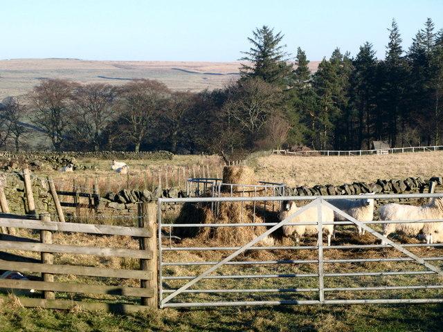 Pastures near Lonkley Head (2)