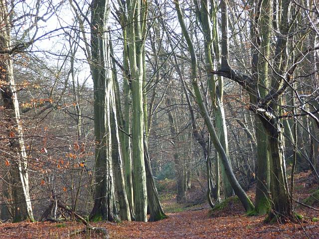 Lindenhill Wood
