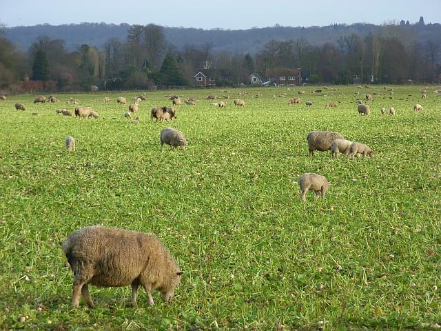 Sheep, Hurley