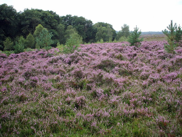 Heather by Pig Bush