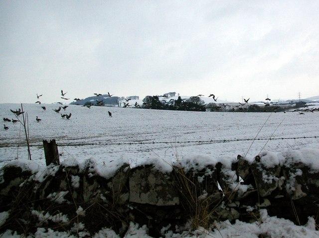 Startled Geese in a field near Auchlishie, Kirriemuir