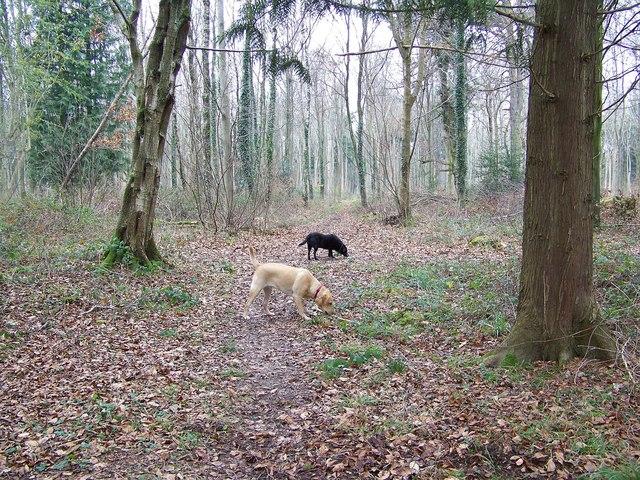 Woodland footpath in the Harewarren