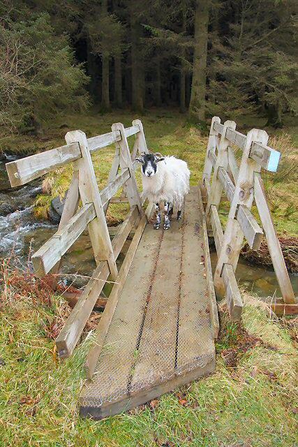 Sheep on footbridge
