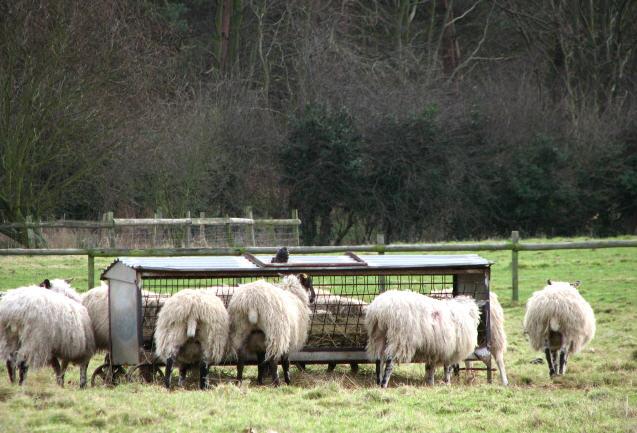 Sheep feeding from a hay rack