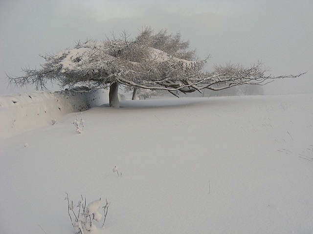 A wind shaped tree on Blaikie's Hill