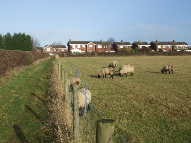 Sheep grazing beside the footpath