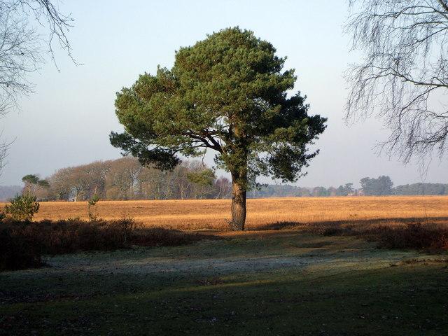 Scots Pine near Pig Bush