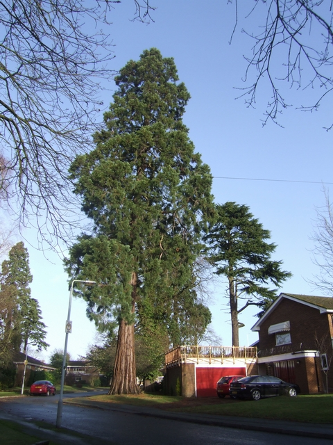 Large trees in Wightwick