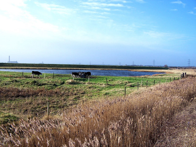 Cattle by a lake on Stoke Marshes