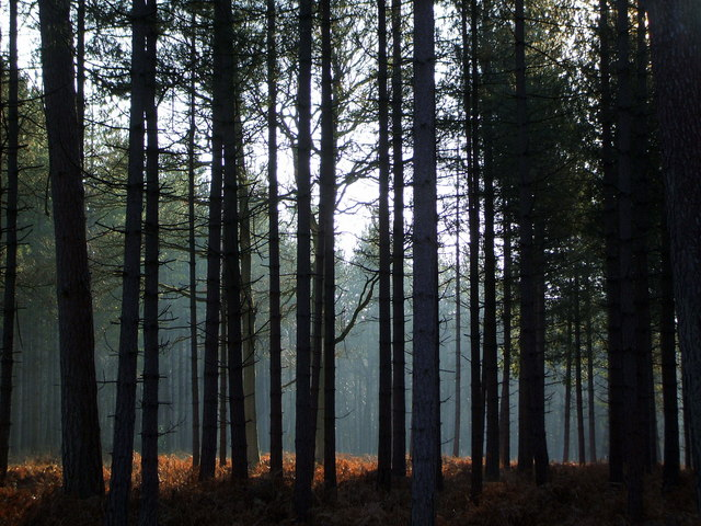 Pine Trees in Frame Heath Inclosure